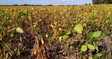 Comenzó la cosecha de soja en la zona con buenos rendimientos